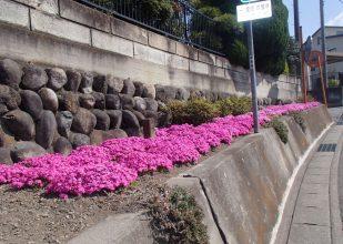 花壇 芝桜